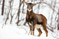 Attentive wild female mouflon sheep standing in snow in winter forest.