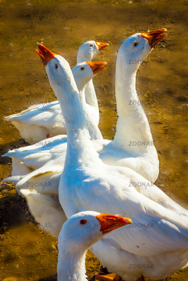Geese on a walk on