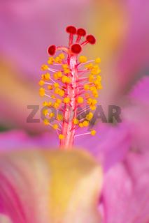 Macro of a hibiscus pistil
