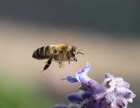 Honey Bee flying to Flower
