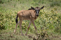 Blue wildebeest calf walks past eyeing camera