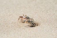 Small ghost crab near the hole on the sandy beach