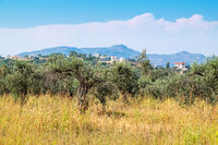 Olive trees. Rhodes, Greece