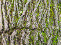 cracked bark on mature trunk of willow tree