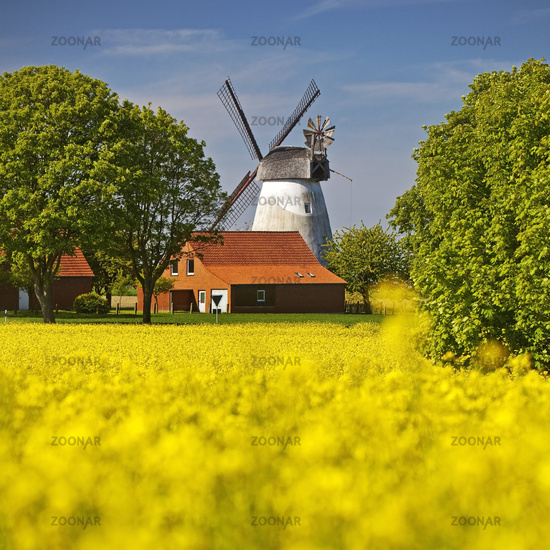 Rape field with windmill Meissen, rampart mill, Minden, Westphalian Mill Route, Germany, Europe