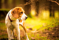 The beagle dog standing in autumn forest. Portrait with shallow background