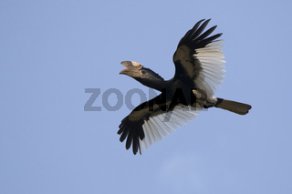 Black and white casqued hornbill that flies over the forest in the blue sky of Africa
