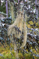 Beard lichen on branches in woods
