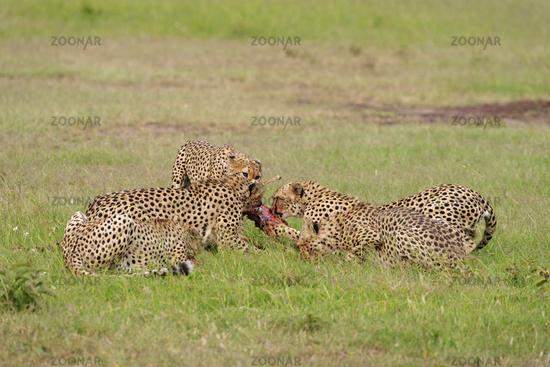 Cheetahs on a kill, Acinonyx jubatus, Masai mara, Kenya, Africa