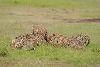 Cheetahs on a kill, Acinonyx jubatus, Masai mara, Kenya, Africa