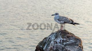 A gull standing on a rock with water in the background. A gull at the Black Sea Coast in Nessebar, Bulgaria. A Kingfisher, sea mew or gull on a rock