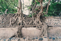 tangle of massive roots, Ethiopia