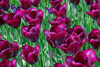 flowerbed with purple tulips in the park