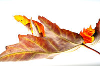 Leaf of the mountain maple in autumn