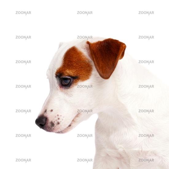 Jack Russell Terrier close up portrait