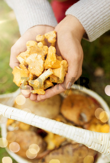 hands with mushrooms and basket in forest