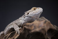 Agama bearded, pet on black background, reptile
