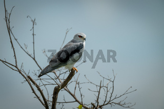 Black-shouldered kite in bare branches facing right