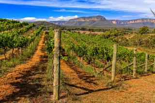Vineyard - Vines growing grapes