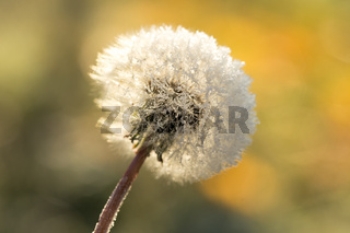 Dandelion in frost, hoarfrost on fluff of dandelion. Dandelion fluff in winter.