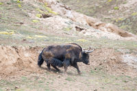 wild yak,bos mutus in mud bath