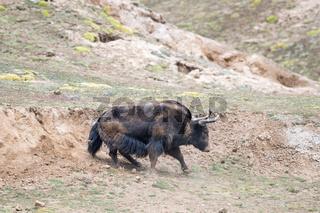 wild yak,bos mutus in mud bath