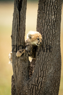 Cheetah cub stands between branches of tree