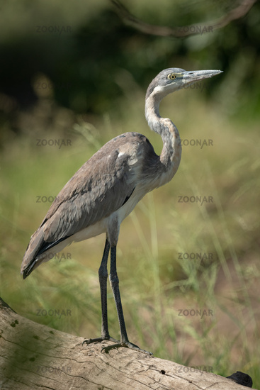 Black-headed heron stands on log in profile
