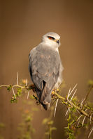 Black-shouldered kite with catchlight on thorny branch