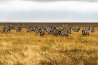 zebra herd in savanna grass