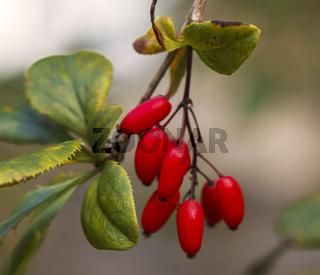 Wilde Hagebutte, Früchte