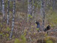 wood grouse
