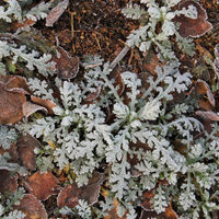 Icy plant which looks almost like a big snow flake. Photographed on a frosty morning in Dalsland, Sweden.