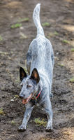 Australian Cattle Dog male in ball chasing anticipation pose.
