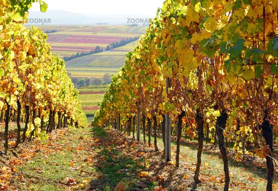 wine region, vine, wine, autumn