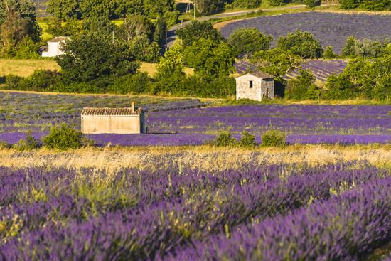 lavender landscape with different huts near village Sault
