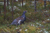 western capercaillie (Tetrao urogallus), or wood grouse, heather cock, or capercaillie