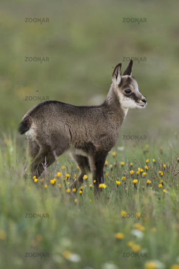Chamois * Rupicapra rupicapra *, cute fawn standing in a flowering alpine meadow