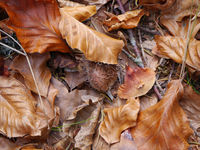 Buchenblätter und Bucheckern in Herbstfarben am Waldboden