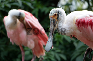 The pair of Roseate Spoonbill (Platalea Ajaja) in nature.
