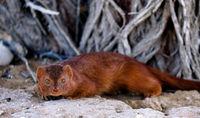 mongoose, Kgalagadi Transfrontier National Park, South Africa