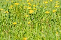 Summer meadow full of blooming dandelions