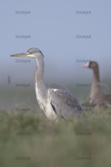 Grey Heron * Ardea cinerea * together with White fronted Goose