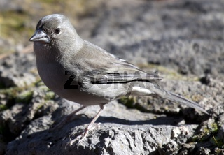 Teneriffa, Teide, Teidefink, Spanien, Kanaren, Weibchen