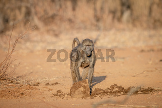 Chacma baboon walking in the bush.