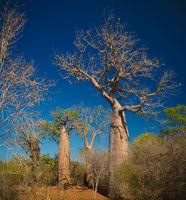 Landscape with Adansonia rubrostipa aka fony baobab tree in Reniala reserve , Toliara, Madagascar