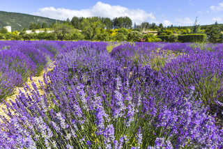 Lavendelfeld eines landwirtschaftlichen Betriebs