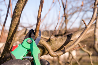 Pruning apple with garden scissors. Spring pruning of fruit trees in the garden.