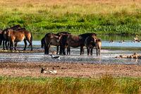 Exmoor ponies between geese