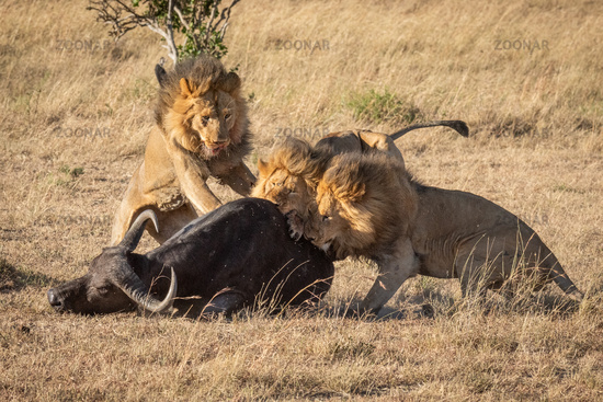 Cape buffalo attacked by three male lion